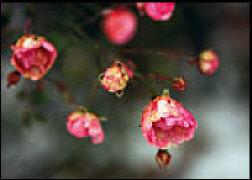 Cover-Bild zu Eschbach Textkarten Verblühende Rosen