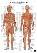 Cover-Bild zu Die menschliche Muskulatur