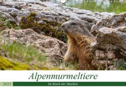 Cover-Bild zu Di Chito, Ursula: Alpenmurmeltiere - Im Reich der Mankeis (Wandkalender 2021 DIN A3 quer)