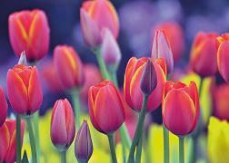 Cover-Bild zu Eschbacher Textkarte. Tulpen